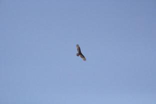 El pájaro golero