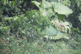 Planta con hojas inmensas que, lamentablemente, no sé cómo se llama. El guía tampoco.