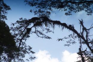 Más árboles barbudos