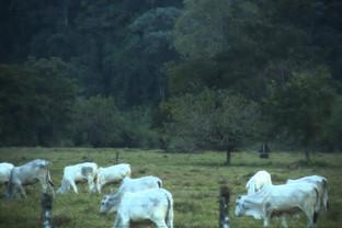 El ganado que se subastaba y del que vimos una escultura, ahora de verdad: vivos
