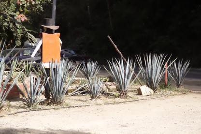 Agaves azules