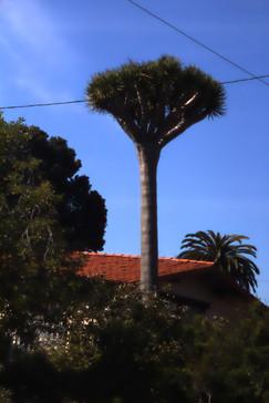 Un árbol que nos llamó la atención; alguien dijo que era un drago. Yo no lo sé.