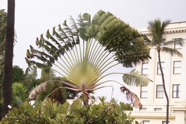En el recinto hay palmeras como esta que parecen abanicos