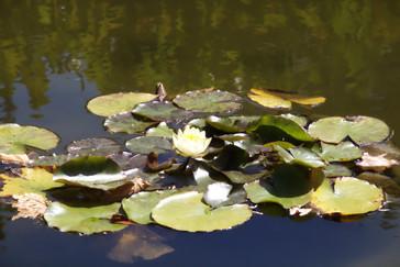 Flor de loto en un estanque