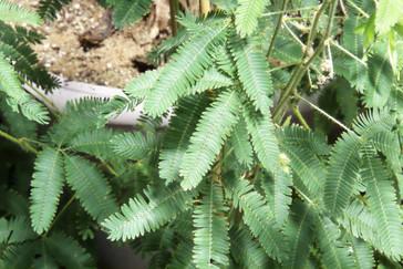 Sensitiva. Fijense en las hojas del centro: están abiertas.