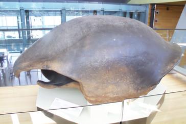 Caparazón de tortuga gigantes