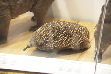 Uno de los extraños animales de la fauna australiana: equidna