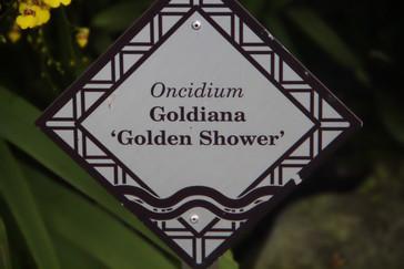 "Aquí se anuncia la orquñidea ""Golden shower"" que podríamos traducir como lluvia dorada"