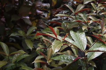 Estas hojas me sorprendieron, son verdes por arriba y rojas por abajo