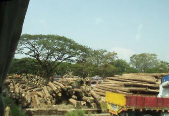 También vimos una de las fuentes de riqueza de Kerala: los árboles