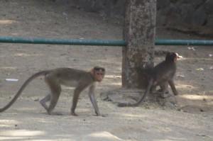 Monos de la Isla Elefanta