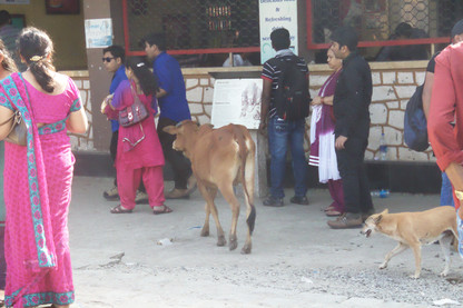 Las vaquillas andan tranquilamente entre las personas