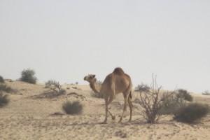 Por el camino nos encontramos con varios camellos; incluso con uno albino