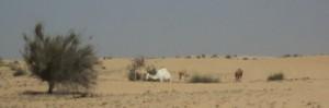Un camello blanco