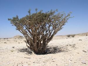 El arbolito. Boswelia sacra. Imagen de Wikimedia