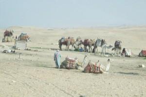 y camellos