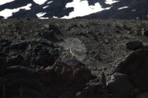 Un pájaro confundido con la lava