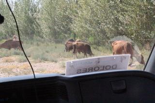 """Vacas en la carretera. Si leen el letrero en la furgoneta pone """"Dolores""""; suena muy español, pero es la agencia de viajes rusa con la que vamos."""