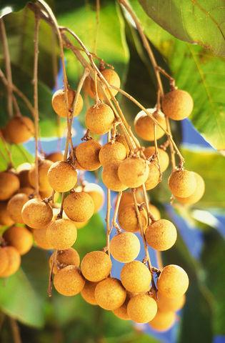 Ojos de dragón. «Dimocarpus longan fruits». Publicado bajo la licencia Dominio público vía Wikimedia Commons - https://commons.wikimedia.org/wiki/File:Dimocarpus_longan_fruits.jpg#/media/File:Dimocarpus_longan_fruits.jpg.