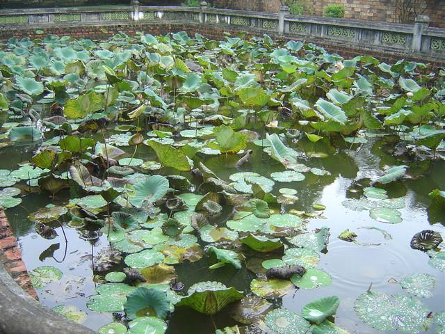 Estanque de plantas de loto