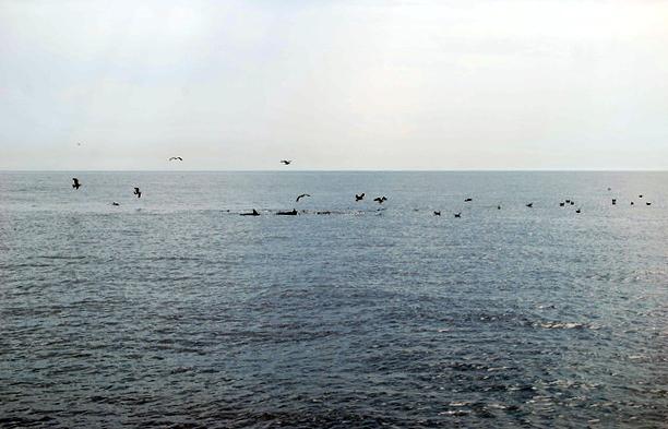A nos metros vemos algunos delfines acompañados de muchas gaviotas.